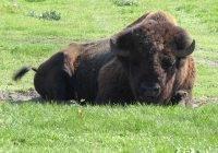Bizon największe zwierzę Ameryki Północnej