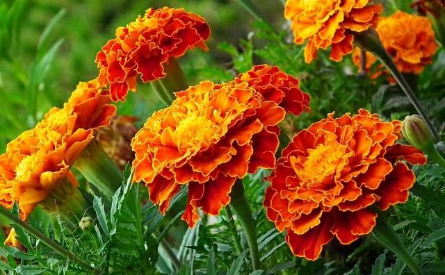 Rośliny które odstraszają krety aksamitki