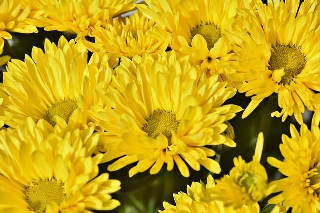 kwiaty na grób astry