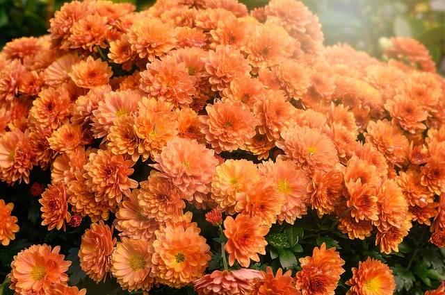 kwiaty na grób chryzantemy