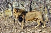 Lew opis zwierzęcia afrykańskiego