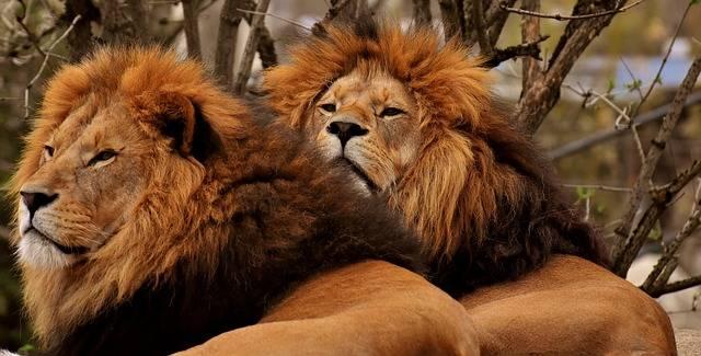 dwa dosorłe osobniki lwa