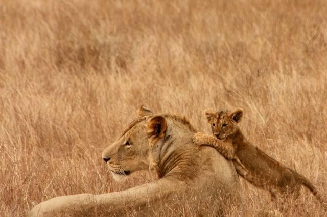 lwiaca z lwiątkiem