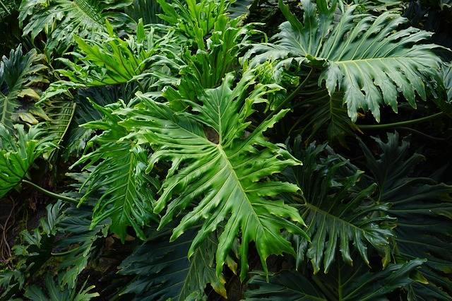 piękne, lecz trujące rośliny doniczkowe
