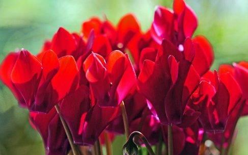 Piękne lecz trujące rośliny doniczkowe