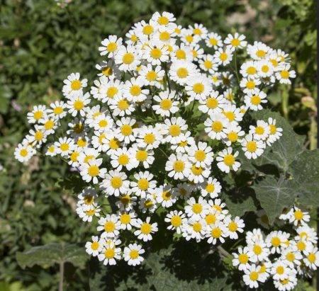 jakie rośliny odstraszają kleszcze złocień dalmatyński