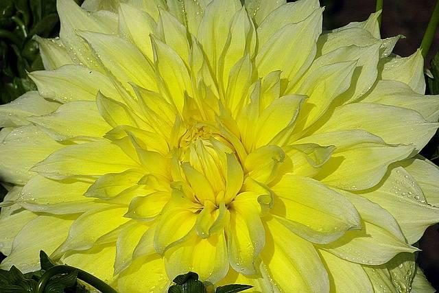 żółta dalia w ogrodzie