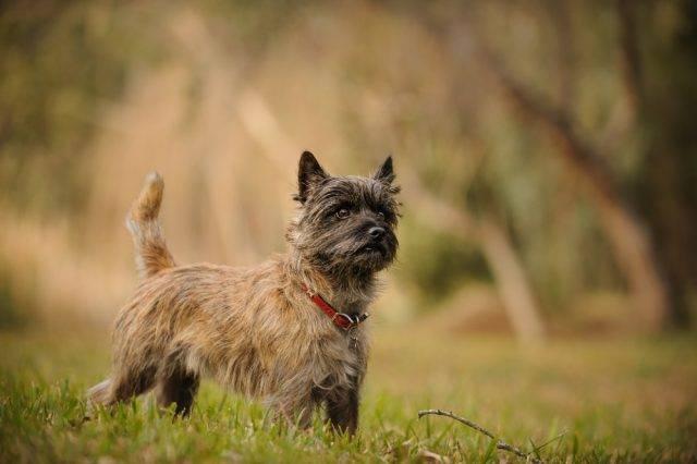 pies na szczury cairn terrier