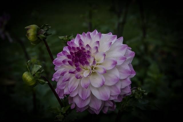 dalia fioletowo-biała
