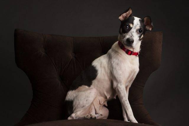 pies do tępienia szczurów rat terrier