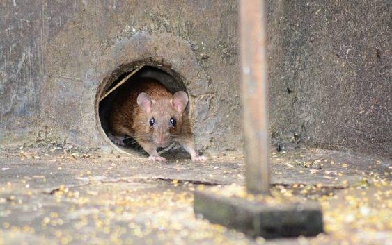 Pies do tępienia szczurów