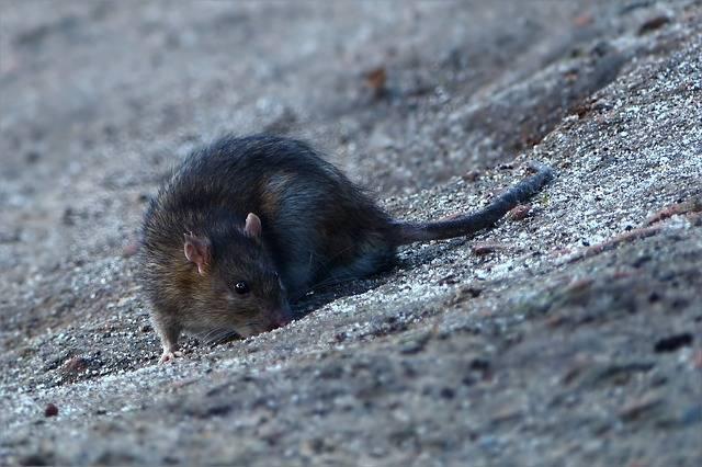 szczur gryzoń
