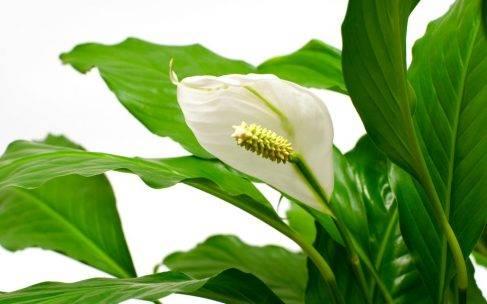 Skrzydłokwiat pielęgnacja, podlewanie i cena