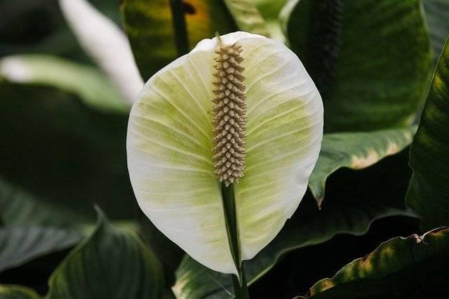 Skrzydłokwiat roślina doniczkowa
