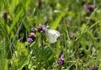 Motyl kapustnik