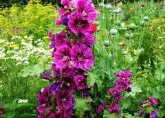 Prawoślaz wysoki inaczej malwa ogrodowa