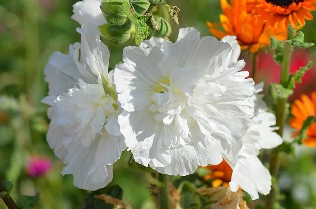 malwa biała