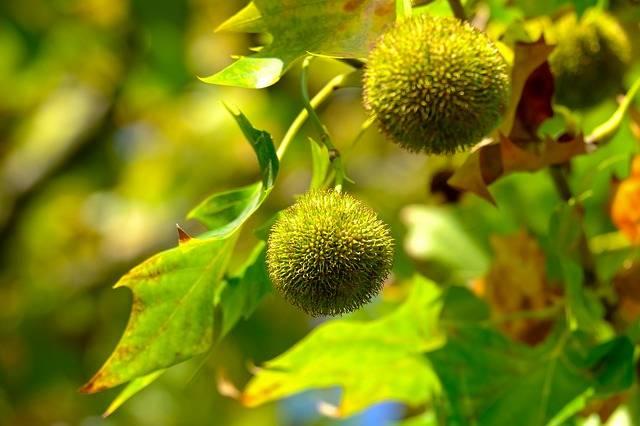 kasztany jadalne na drzewie foto