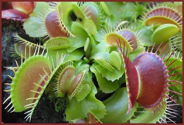 rośliny mięsożerne