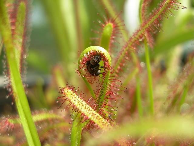 roślina mięsożerna z złapanym owadem