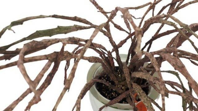 roślina doniczkowa Euphorbia platyclada