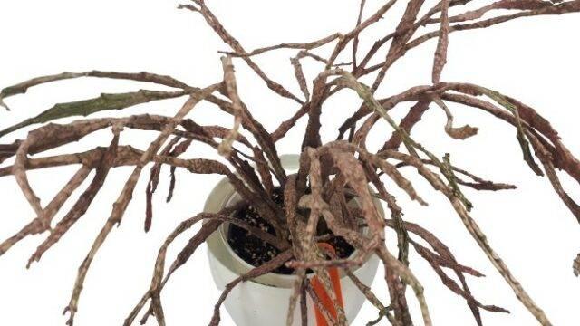 wilczomlecz Euphorbia platyclada