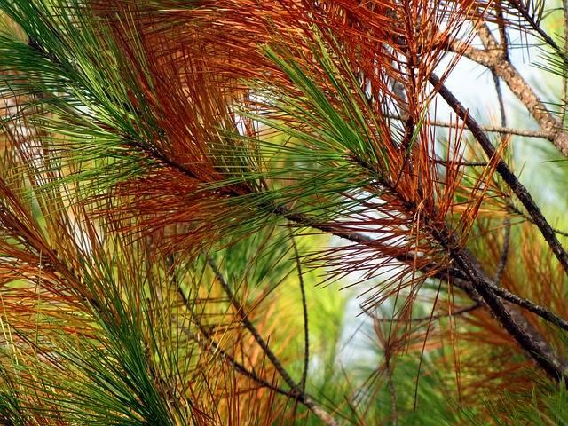 szkodniki sosen - brązowe igły na sośnie