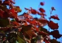 Leszczyna pospolita purpurea